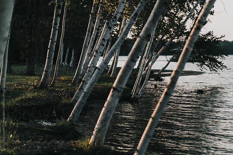 Birch Trees Growing Along Water's Edge by Alicia Magnuson Photography for Stocksy United