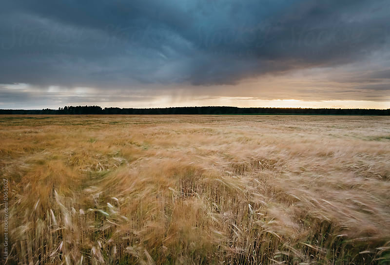 Rain, clouds and Barley blowing in the wind at sunset. Norfolk, UK. by Liam Grant for Stocksy United