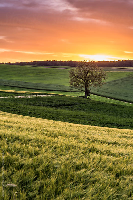 Tree with High Seat in Fields at Sunset by Andreas Wonisch for Stocksy United