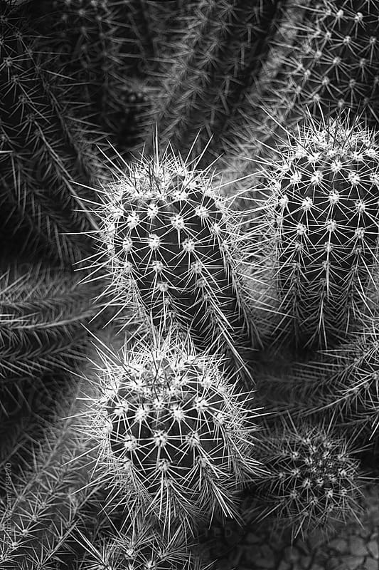 Group of cactus plants in contrasty black and white by Marcel for Stocksy United