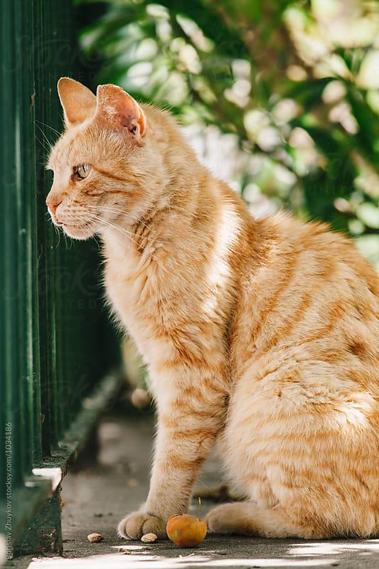 Beautiful Orange Cat  by Borislav Zhuykov for Stocksy United