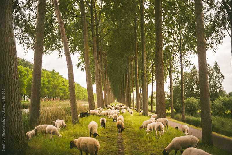 sheep grazing on pathway by Sam Hurd Photography for Stocksy United