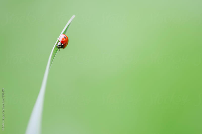 ladybug on grass blade by RG&B Images for Stocksy United