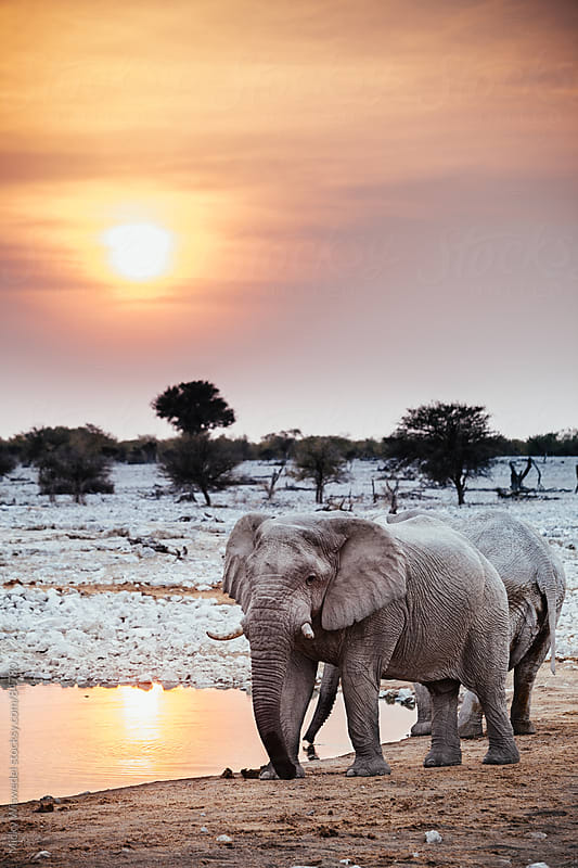 African Elephant at a watering hole at sunset by Micky Wiswedel for Stocksy United