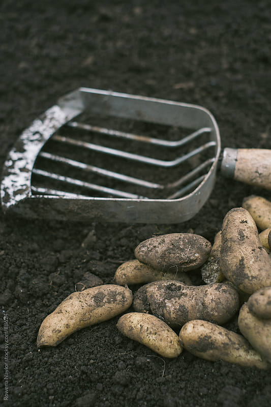 Freshly harvested Kipfler Potatoes by Rowena Naylor for Stocksy United