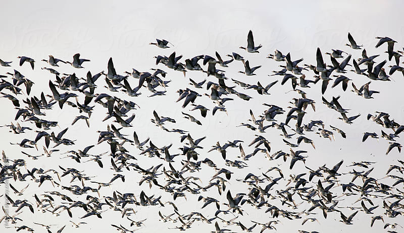 Barnacle geese in flight by Marcel for Stocksy United