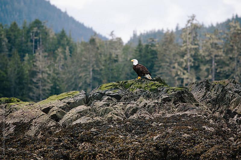 bald eagle on coastal rock in Alaska by Cameron Zegers for Stocksy United