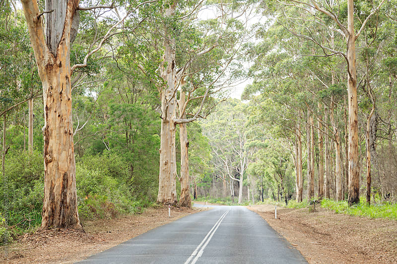 A road though the forest at Pemberton. Western Australia. by John White for Stocksy United
