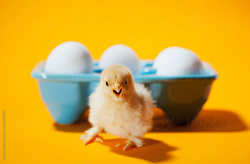 Chicks: Baby Chicken Escapes From Egg Carton by Sean Locke for Stocksy United