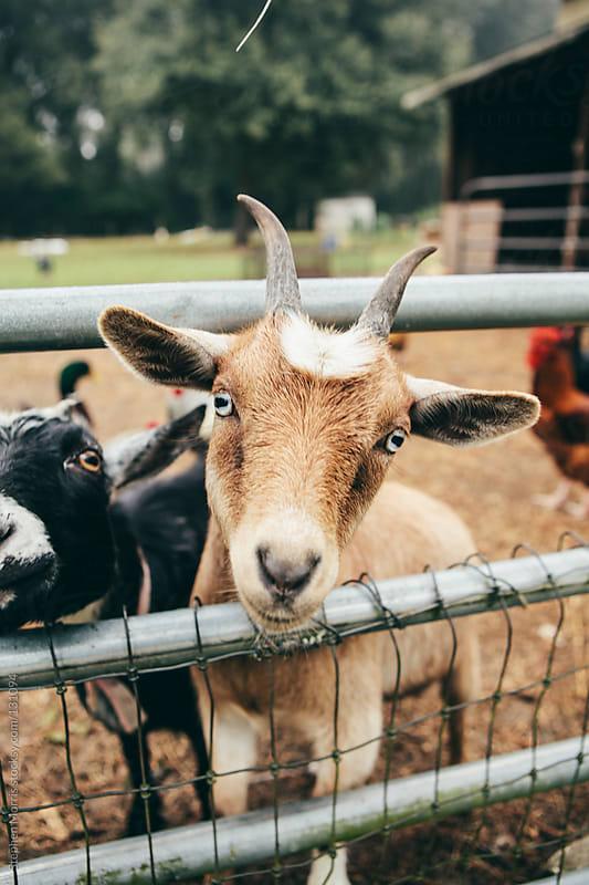 Friendly Goat in Barnyard by Stephen Morris for Stocksy United