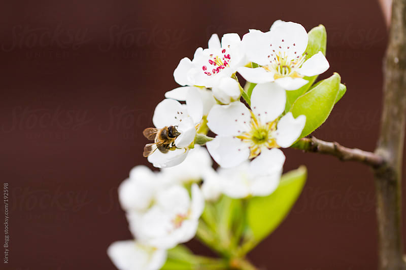 Bee collects pollen from a pear tree by Kirsty Begg for Stocksy United
