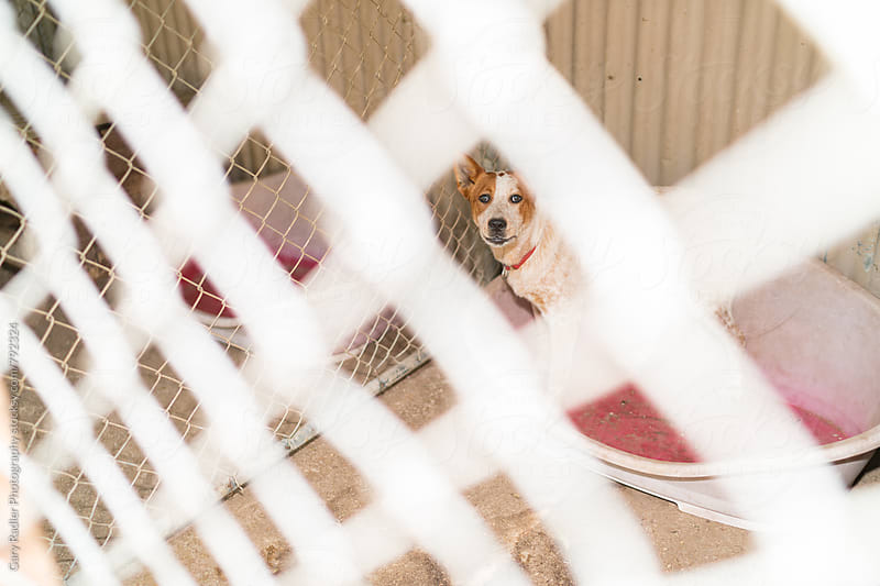 Farm Dog looking through a Cyclone Fence by Gary Radler Photography for Stocksy United