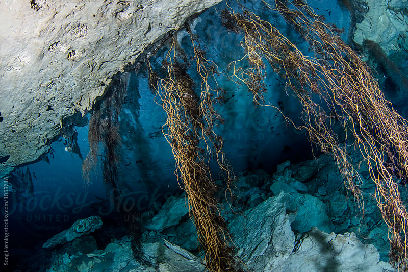 Tree roots  in Mexico's  Cenote Chiken Ha by Song Heming for Stocksy United