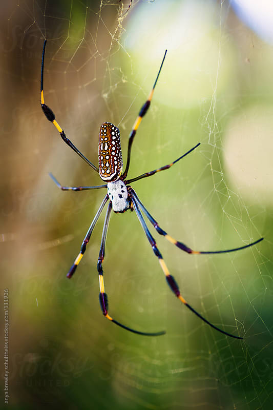 Spider with speckled abdomen on a web by anya brewley schultheiss for Stocksy United