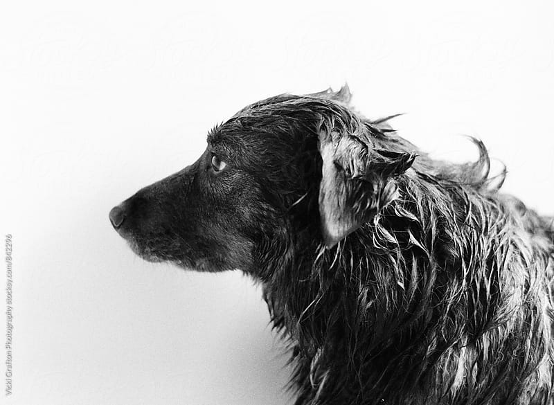 Grumpy Wet Dog  by Vicki Grafton Photography for Stocksy United