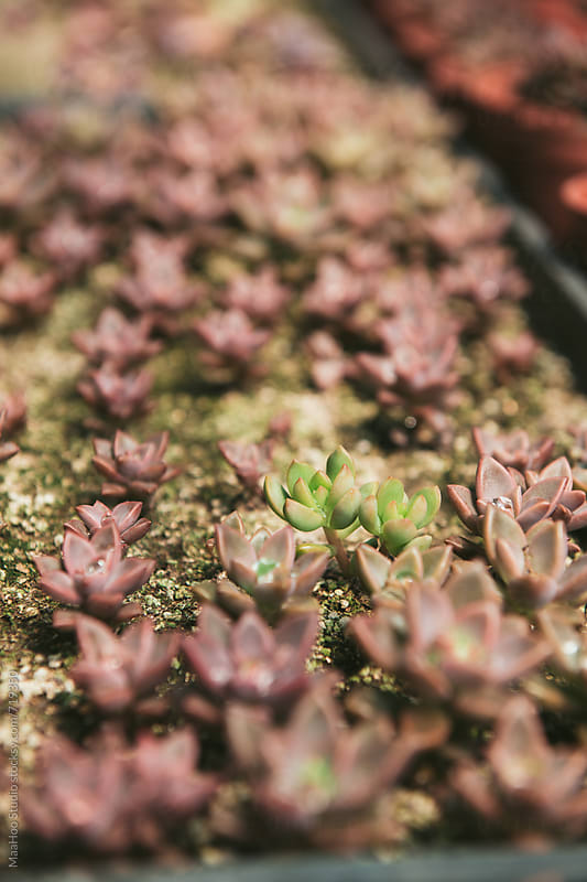 Succulent plants in Greenhouse by MaaHoo Studio for Stocksy United