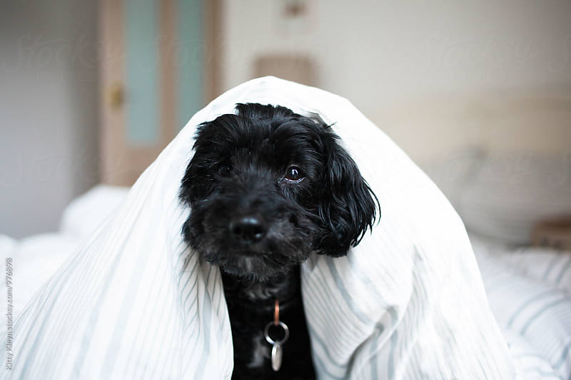 Black dog with duvet by Kitty Gallannaugh for Stocksy United