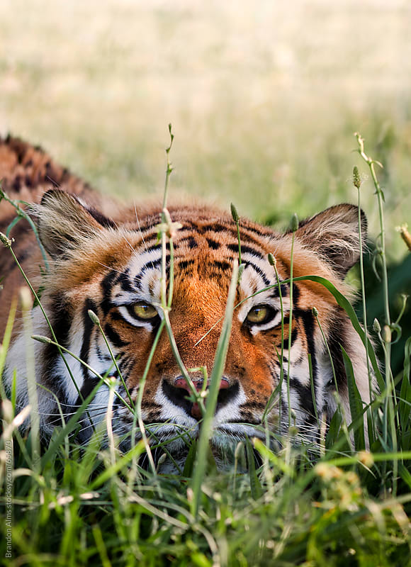 Bengal Tiger Crouched and Hiding in Tall Grass by Brandon Alms for Stocksy United