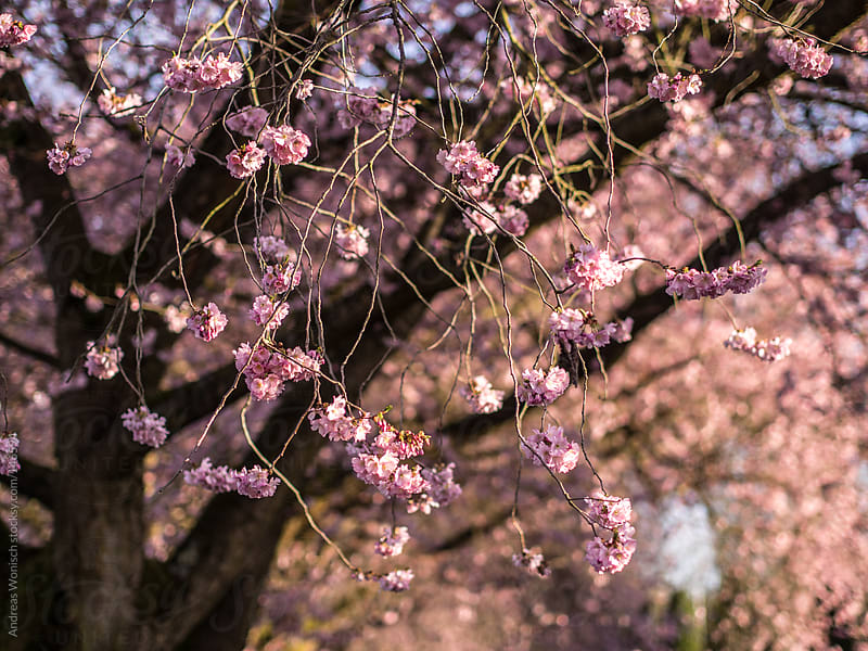 Flowering Cherry Blossom Closeup by Andreas Wonisch for Stocksy United