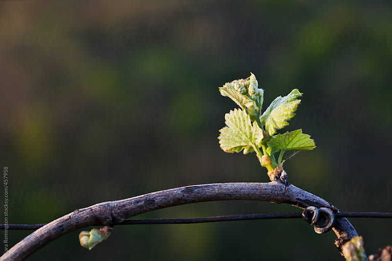 Young Grape Vine Buds in Vineyard in Italy by Sara Remington for Stocksy United