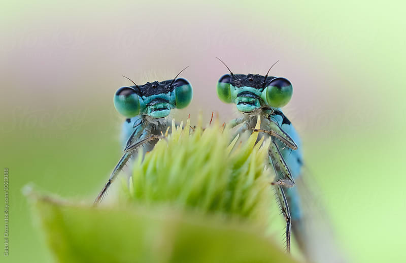 Dragonflies by Gabriel Ozon for Stocksy United