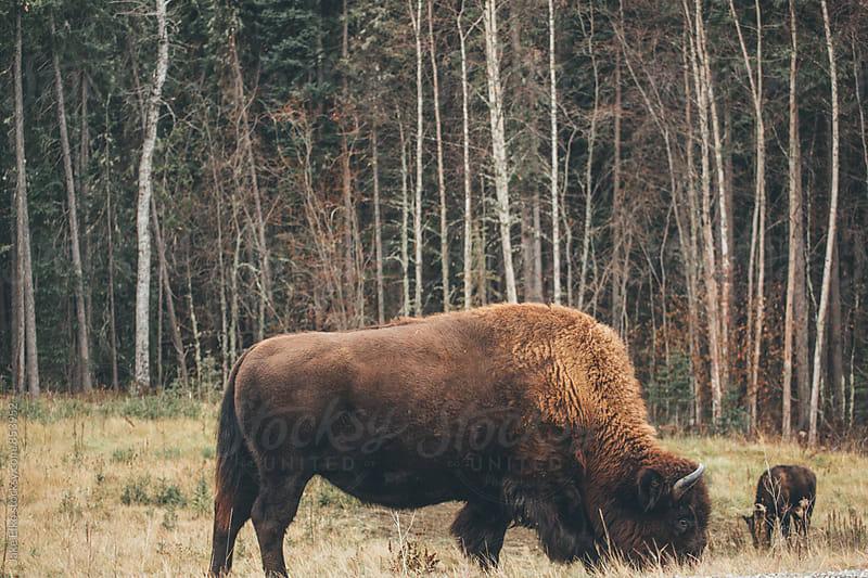 Buffalo in Jasper National Park by Jake Elko for Stocksy United