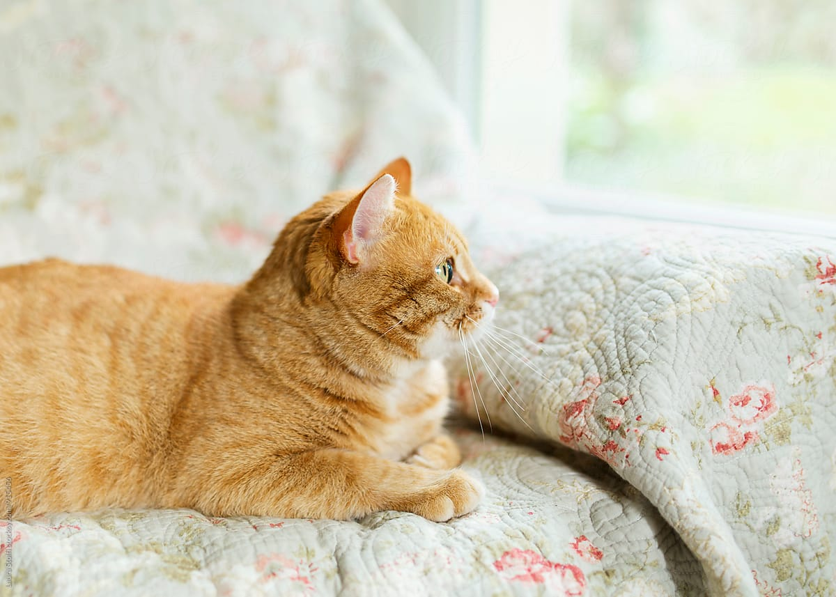 Side view of cat laying on sofa and looking out at garden ...