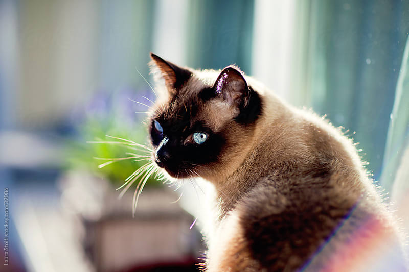 Blue Eyed cat sits on windowsill under the sun by Laura Stolfi for Stocksy United