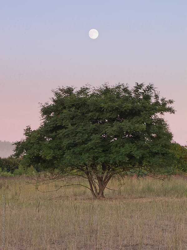 Full moon rises above a tree in grassland by Melanie Kintz for Stocksy United