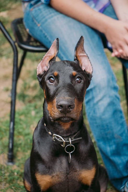 Doberman puppy by Shelly Perry for Stocksy United