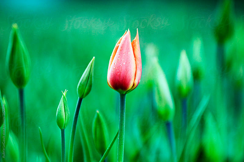 Lone Tulip by Aubrie LeGault for Stocksy United
