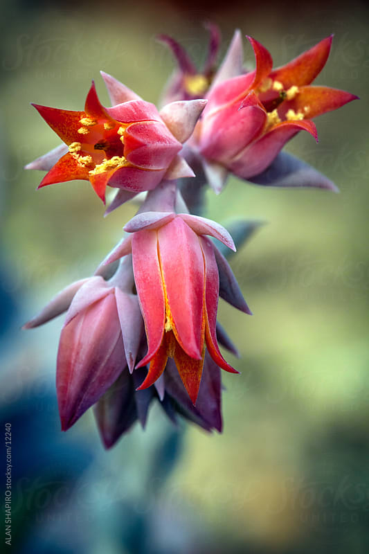 Echeveria by alan shapiro for Stocksy United