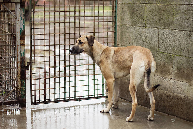 Yellow crossbreed dog in dog pound  by Laura Stolfi for Stocksy United