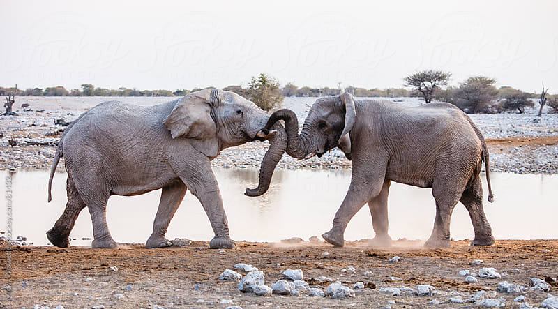 African Elephants playing at a waterhole by Micky Wiswedel for Stocksy United