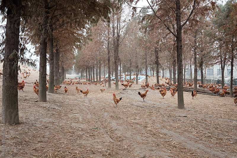 Free Range Chickens by Nick Walter for Stocksy United