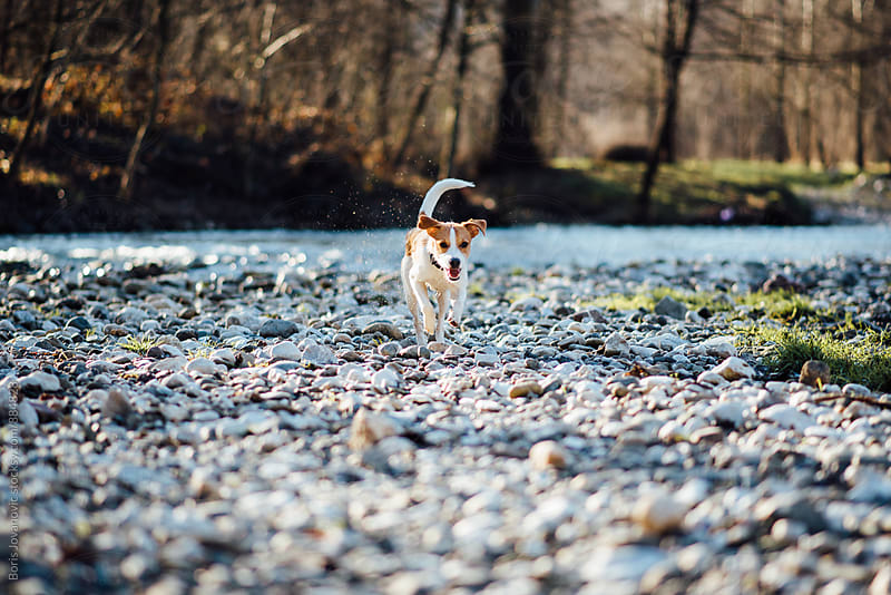 Dog running by the river bank by Boris Jovanovic for Stocksy United
