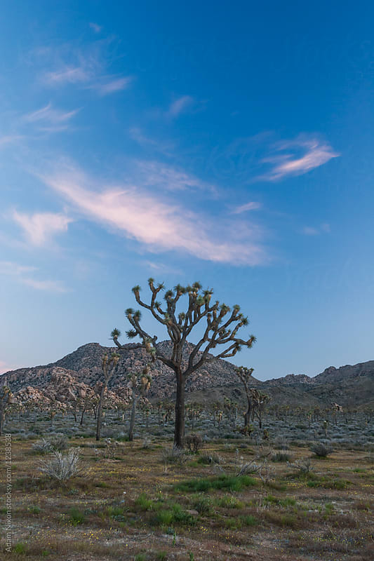 Joshua Tree National Park at sunset by Adam Nixon for Stocksy United