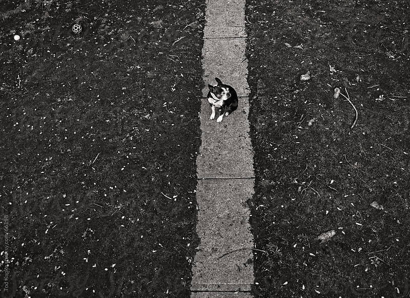 aerial of a boston terrier  by Tod Kapke for Stocksy United