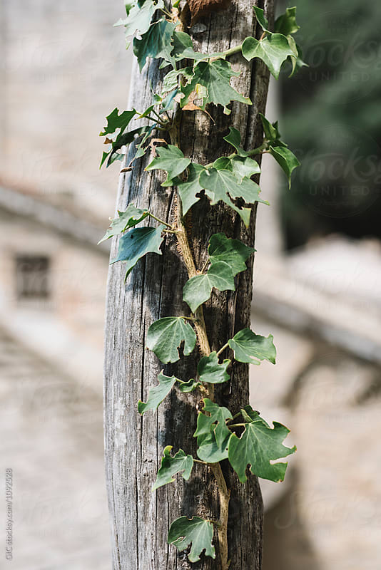Ivy plant by Simone Becchetti for Stocksy United