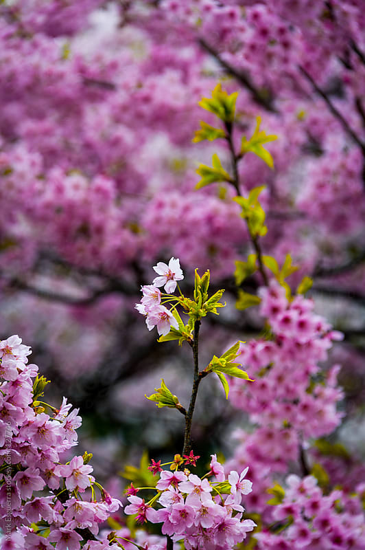 Some Sakura trying to be the center of attention by Mark Esguerra for Stocksy United
