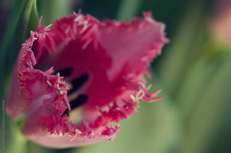 Macro of frilly pink tulip flower by Kerry Murphy for Stocksy United