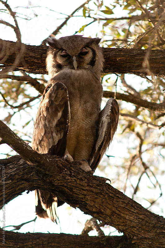 Owl on a branch in Masai Mara National Park, Kenya by Marta Muñoz-Calero Calderon for Stocksy United