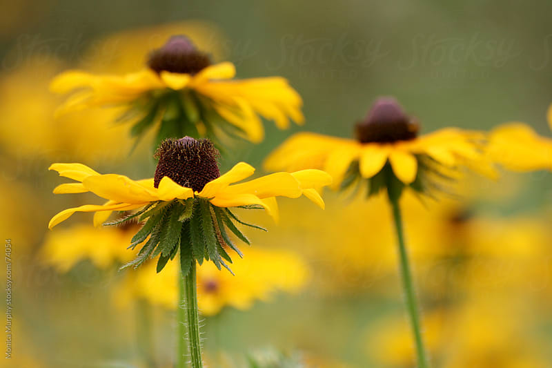 Close up of Black Eyed Susan in field by Monica Murphy for Stocksy United