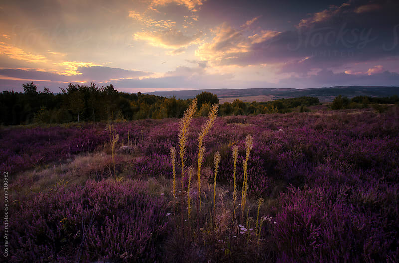 Sunset over field with purple flowers by Cosma Andrei for Stocksy United