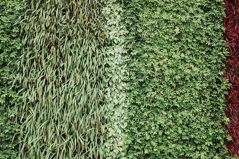 green leaf wall in city by Pansfun Images for Stocksy United
