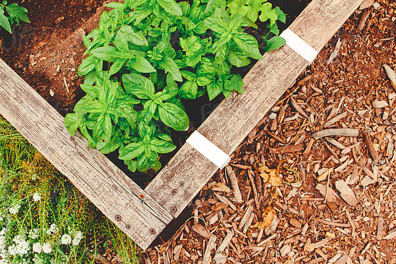 Planted Basil by Jayme Burrows for Stocksy United