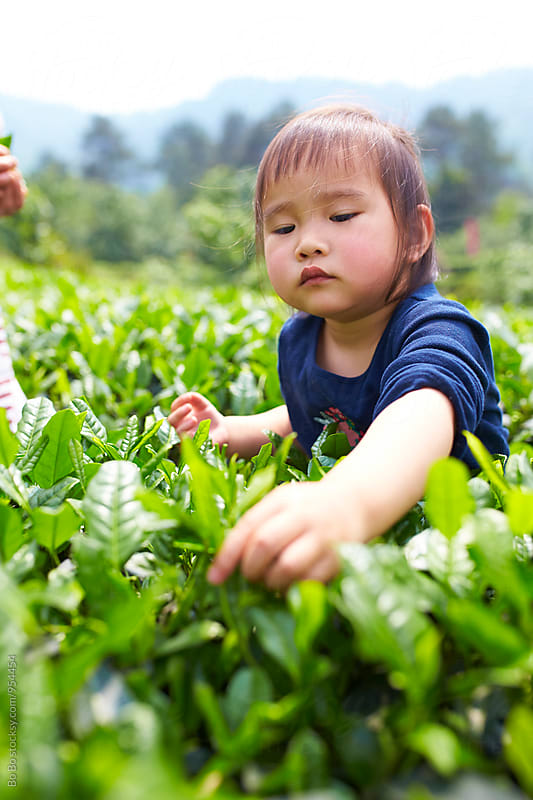 little asian girl picking tea leaf by Bo Bo for Stocksy United