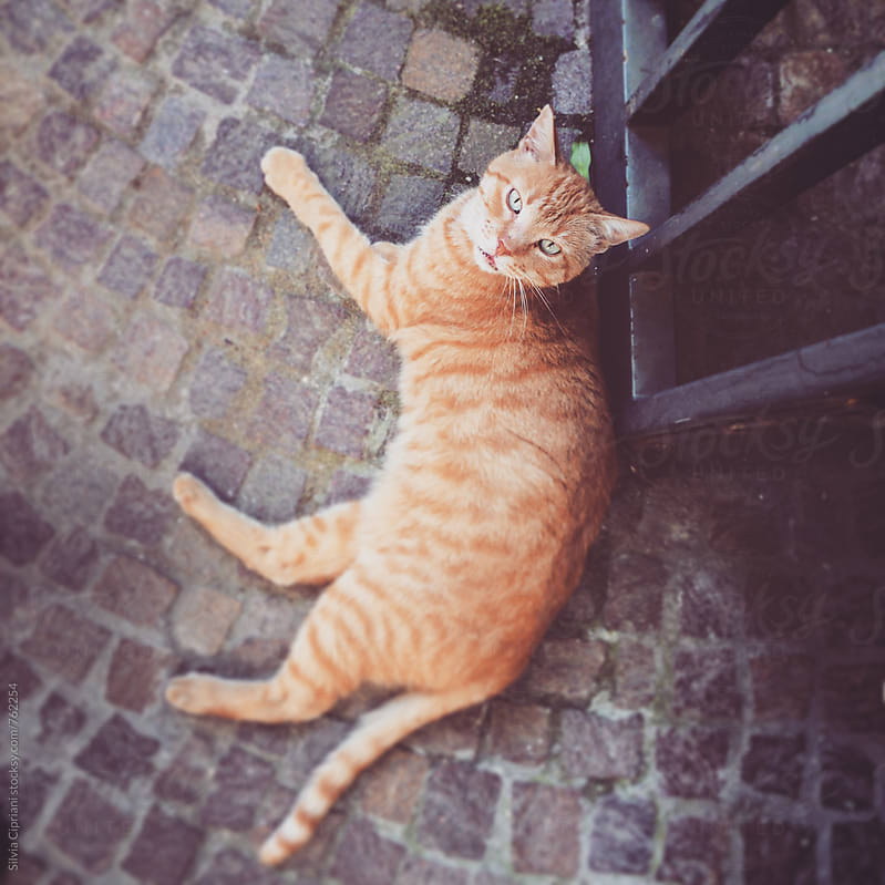 Orange tabby cat lying down looking at the camera by Silvia Cipriani for Stocksy United