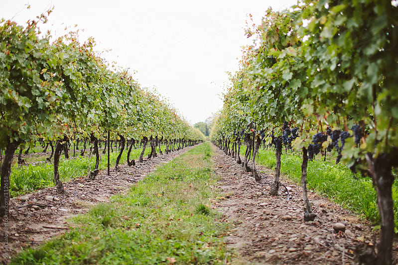 late harvest wine grapes on the vine in niagara by Sarah Lalone for Stocksy United