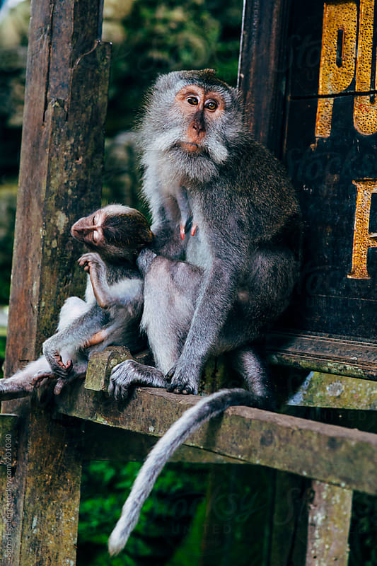 Wild monkey with baby playing in temple forest in Bali by Soren Egeberg for Stocksy United